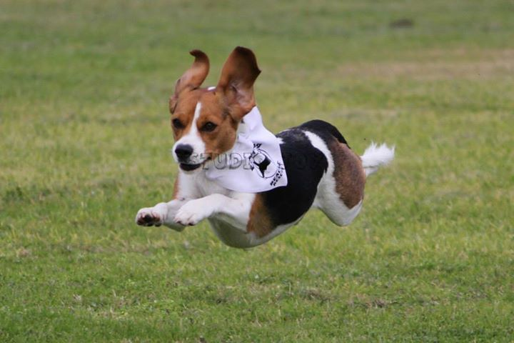 Beagle Running The Fastest Dog in Aus...