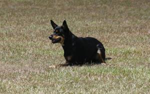 Ruby the Kelpie June 14