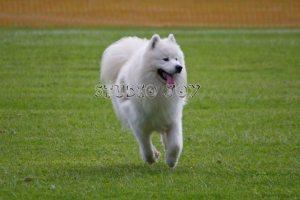 Samoyed 2